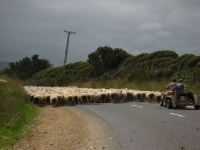 Sheep-Catlins (2 of 3)
