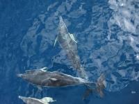 Dolphins around Poor Knights