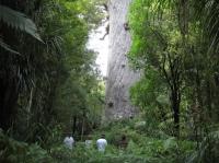 Kauri giants
