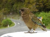 Kea-MilfordRoad-FiordlandNP (2 of 22)