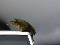 Kea-MilfordRoad-FiordlandNP (8 of 22)