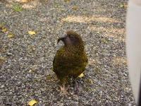 Kea-TheDivide-FiordlandNP (4 of 5)
