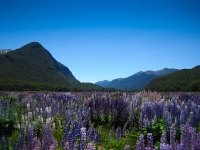 Lupins in the valley